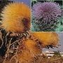 Cynara Cardunculus 1 packet (18 seeds)