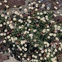Erigeron Karvinskianus Profusion 1 packet (200 seeds)