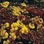 Helenium Autumnale Sunshine Hybrid 1 packet (300 seeds)