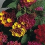Lantana Camara Mixed Hybrids 1 packet (20 seeds)