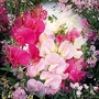 Lathyrus Latifolius Mixed 1 packet (20 seeds)