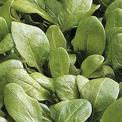 Spinach Toscane Seeds
