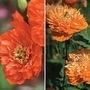 Meconopsis Cambrica Double Mixed 1 packet (50 seeds)