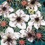 Nigella Papillosa African Bride 1 packet (400 seeds)