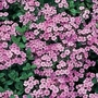 Saponaria Ocymoides 1 packet (25 seeds)