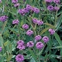 Verbena Rigida (Venosa) 1 packet (150 seeds)
