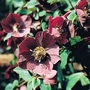 Helleborus Purpurascens 1 packet (30 seeds)