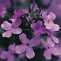 Hesperis Matronalis 1 packet (500 seeds)