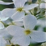 Hesperis Matronalis Alba 1 packet (250 seeds)