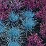 Festuca Glauca 1 packet (100 seeds)