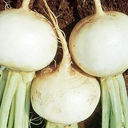 Turnip Snowball Seeds