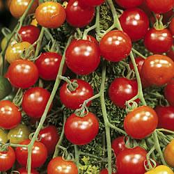 Tomato Red Alert Seeds