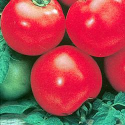 Tomato Shirley Seeds
