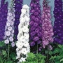 Delphinium New Zealand Doubles Mixed 10 plants in 5cm pots