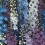 Delphinium Pacific Giants 72 plug plants