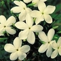 Jasminum Officinale &#x27;Clotted Cream&#x27; 10 jumbo plants