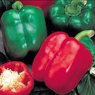 Pepper Bellboy Plants x3