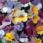 Nemesia Strumosa Paintbox 120 mini-plugs + 30 free