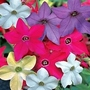 Nicotiana Eau De Cologne Mixed 84 plugs