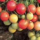 Greenhouse Tomato Plant Collection 9 Plants
