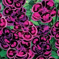 Dianthus Tropical Butterfly 10 jumbo plants