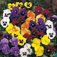 Pansy Universal F1 Mixed 120 mini-plugs