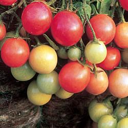 Tomato Garden Pearl Plants x3 (Bush)