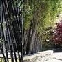 Black Bamboo 1 plant in 9cm pot