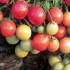 Tomato Garden Pearl Plants x6