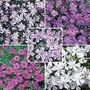 Phlox - Creeping Phlox Collection 15 young plants - 3 of each