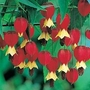 Abutilon Megapotamicum 2 plants in 9cm pots