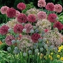 Allium Cottage Garden Mixed 100 bulbs