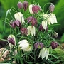 Fritillaria Meleagris Mixed 50 bulbs