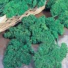 Parsley Krausa Plants