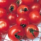 Tomato Gardener's Delight Plants