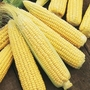 Sweetcorn Swift Plants