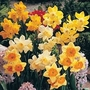 Narcissus Miniature Mixed 100 bulbs