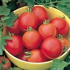 Tomato Moneymaker Plants x3