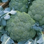 Early Brassica Plant Collection 48 Plants