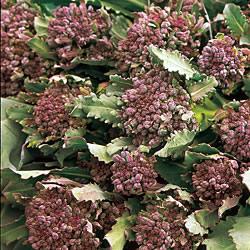 Broccoli Bordeaux (Sprouting) Plants x16