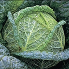 Cabbage Wintessa (Savoy) Plants