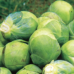 Brussels Sprout Brilliant Plants