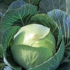 Cabbage Stonehead (Autumn) Plants
