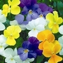 Pansy Friolina Mixed 10 jumbo plants