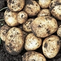 Swift Seed Potatoes (First Early)