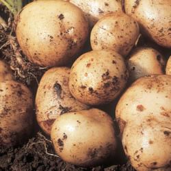 Pentland Javelin Seed Potatoes (First Early)