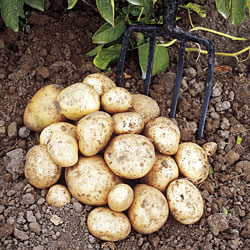 Rocket Seed Potatoes (First Early)