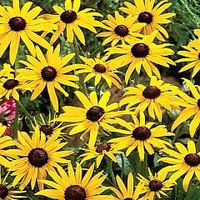 Rudbeckia Goldsturm 3 bareroot plants