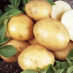 Maris Peer Seed Potatoes (Second Early)