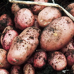Maxine Seed Potatoes (Second Early)